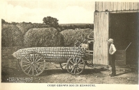 Corn Grows Big in Missouri Postcard