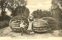 Watermelon Blockade in Texas Postcard