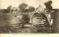 Carving Watermelon in Kansas Postcard (1907)
