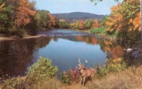 White Tail Deer, Ausable River, New York Postcard