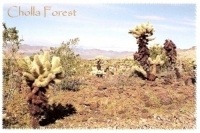 Cholla Forest, Arizona Postcard