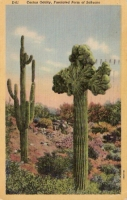 Cactus Oddity, Arizona Postcard